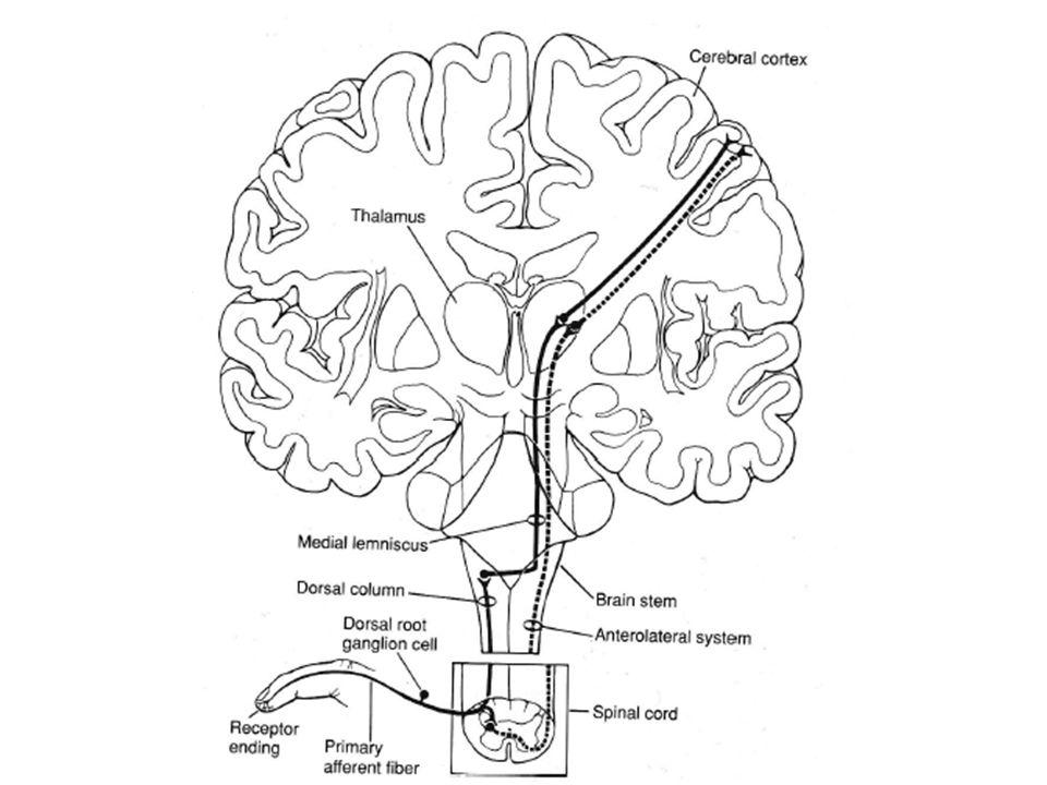 Le premier neurone conduisant le signal de la périphérie vers le SNC est un neurone récepteur : ici, un ganglion de la racine dorsale.