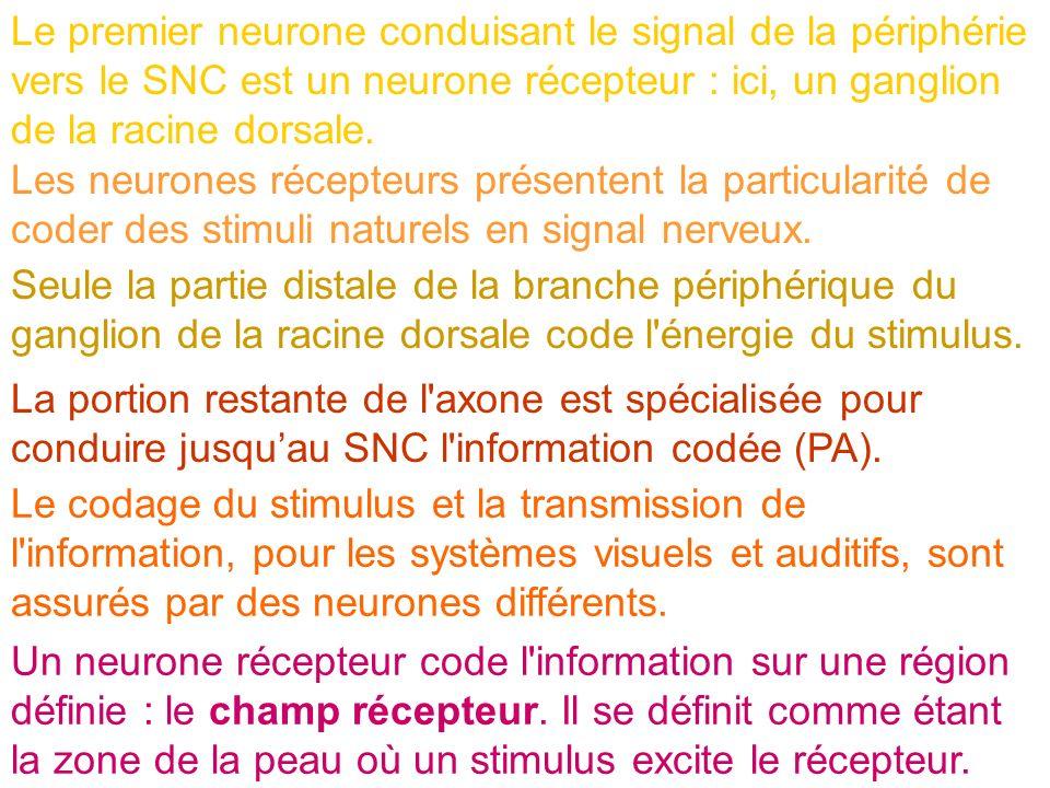 Le premier neurone conduisant le signal de la périphérie vers le SNC est un neurone récepteur : ici, un ganglion de la racine dorsale. Les neurones ré