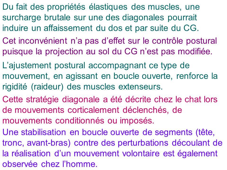 Du fait des propriétés élastiques des muscles, une surcharge brutale sur une des diagonales pourrait induire un affaissement du dos et par suite du CG