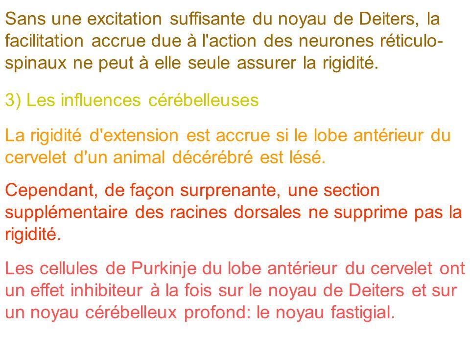 Sans une excitation suffisante du noyau de Deiters, la facilitation accrue due à l'action des neurones réticulo- spinaux ne peut à elle seule assurer