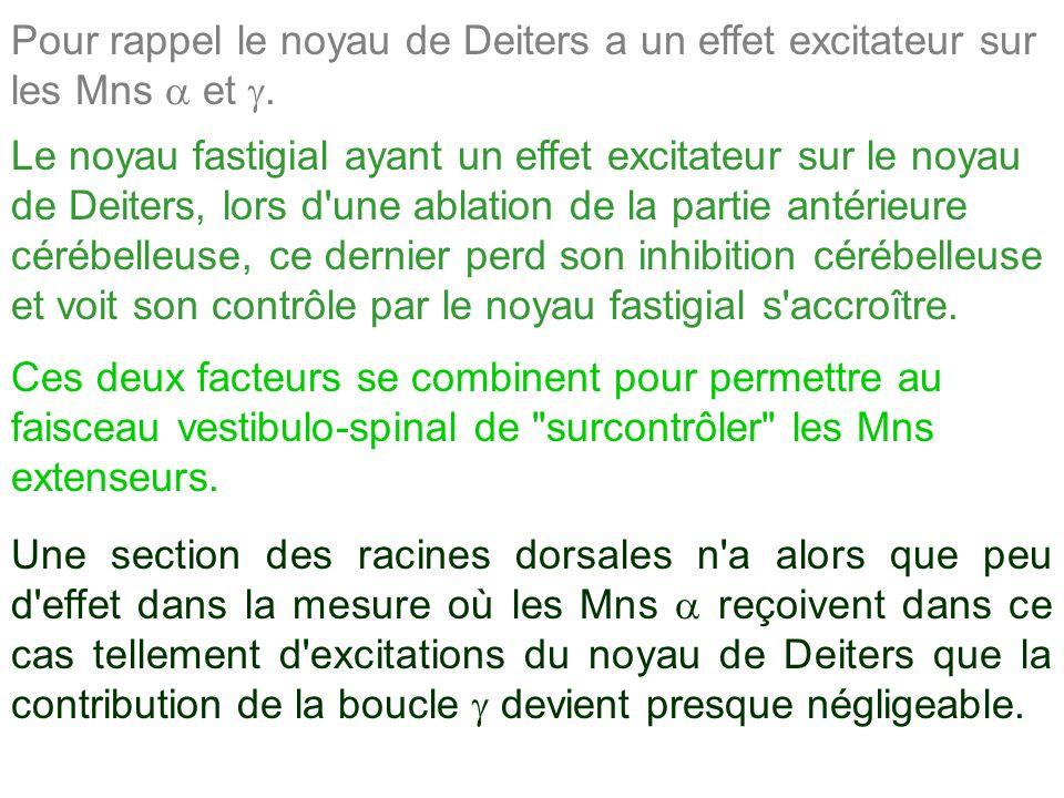 Pour rappel le noyau de Deiters a un effet excitateur sur les Mns et. Le noyau fastigial ayant un effet excitateur sur le noyau de Deiters, lors d'une