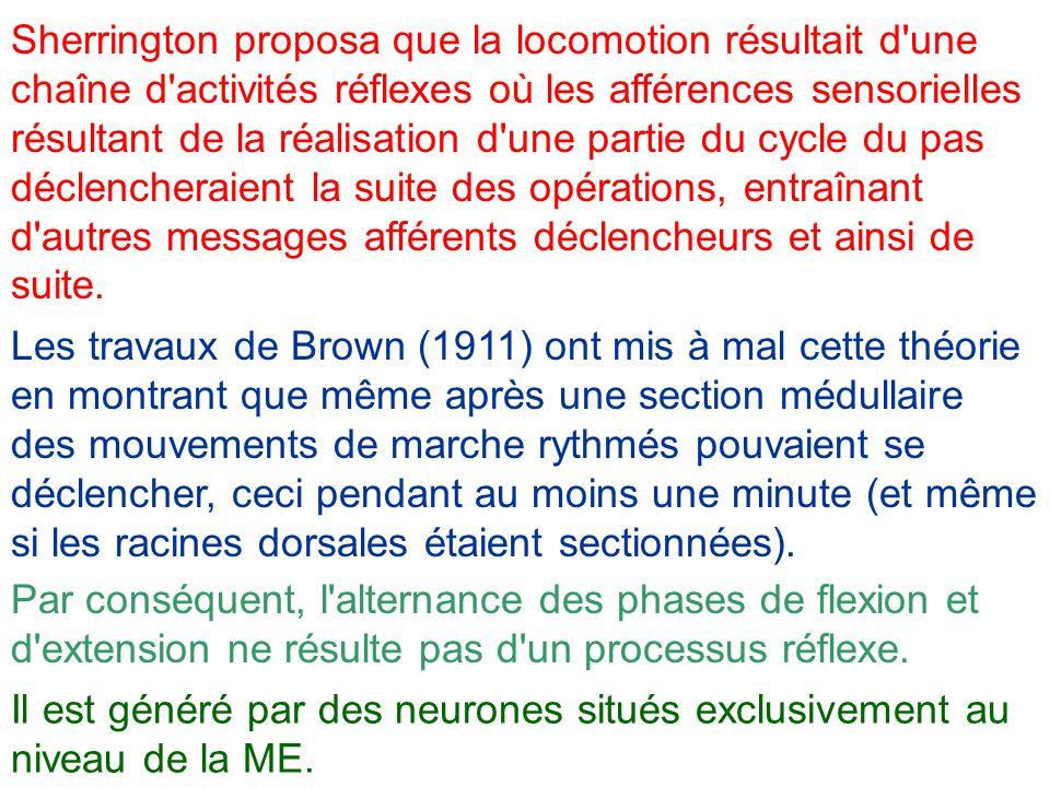 Sherrington proposa que la locomotion résultait d'une chaîne d'activités réflexes où les afférences sensorielles résultant de la réalisation d'une par