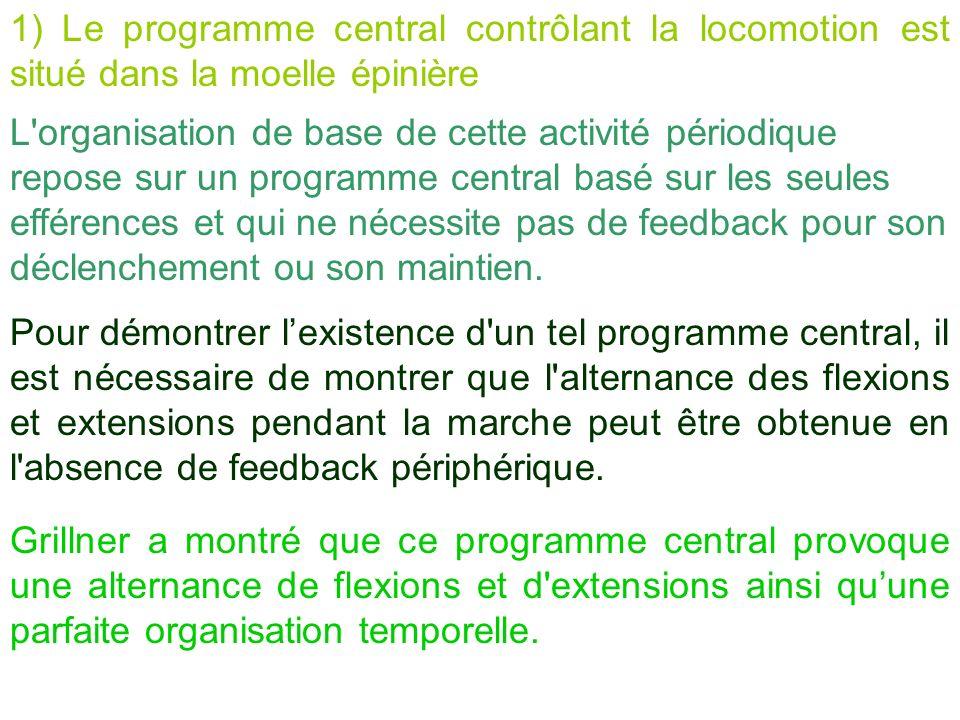 1) Le programme central contrôlant la locomotion est situé dans la moelle épinière L'organisation de base de cette activité périodique repose sur un p