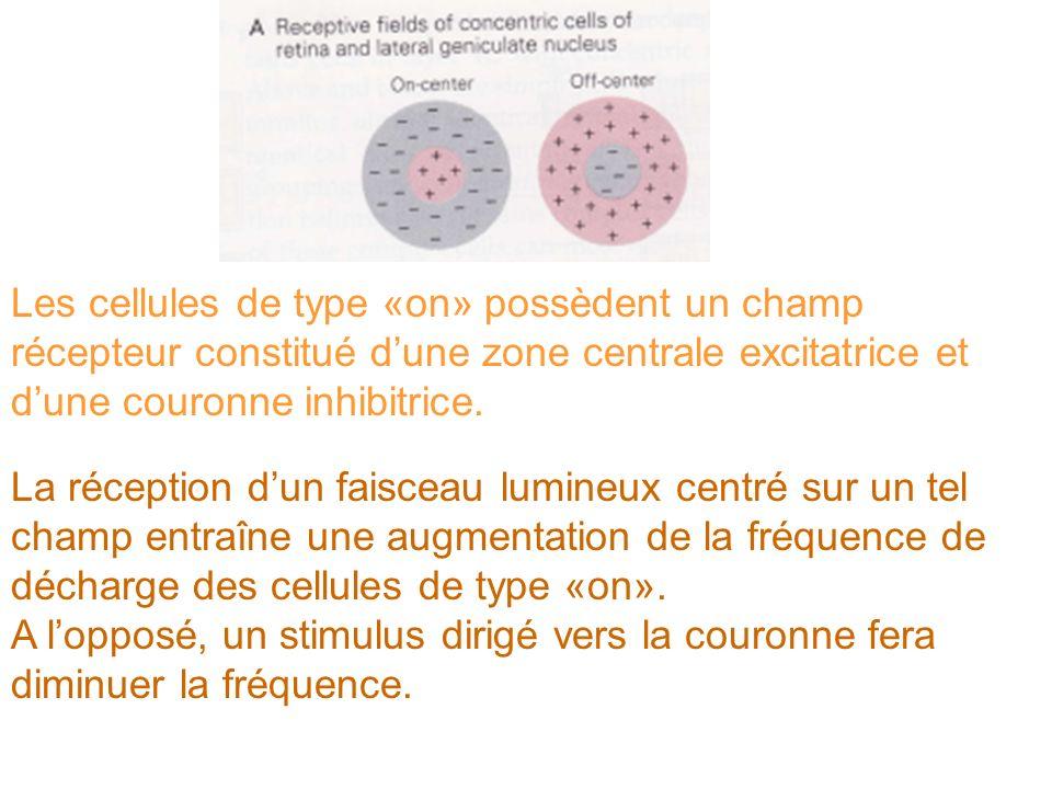 Les cellules de type «on» possèdent un champ récepteur constitué dune zone centrale excitatrice et dune couronne inhibitrice. La réception dun faiscea