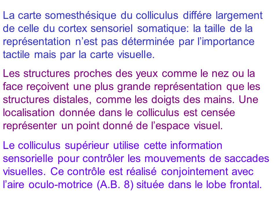 La carte somesthésique du colliculus différe largement de celle du cortex sensoriel somatique: la taille de la représentation nest pas déterminée par