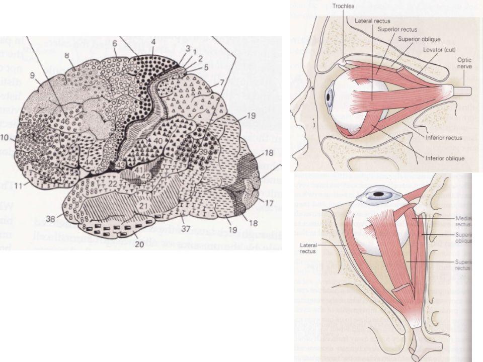 Des expérimentations basées sur un blocage sélectif des cellules de type «on» ont permis de montrer que les cellules ganglionnaires de types «on» et «off» transmettent leur information jusquaux corps genouillés latéraux par des canaux différenciés.