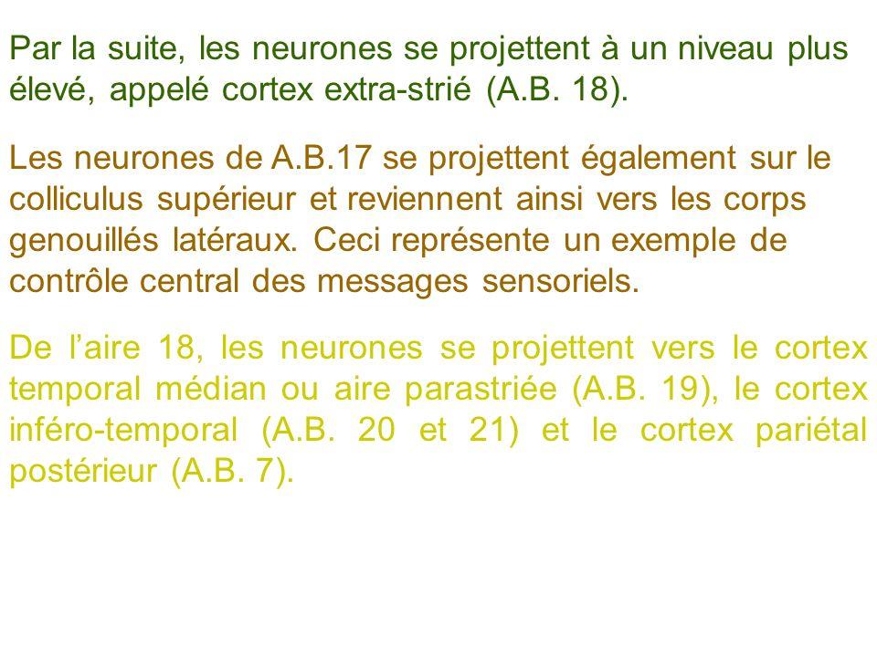 Les neurones de A.B.17 se projettent également sur le colliculus supérieur et reviennent ainsi vers les corps genouillés latéraux. Ceci représente un