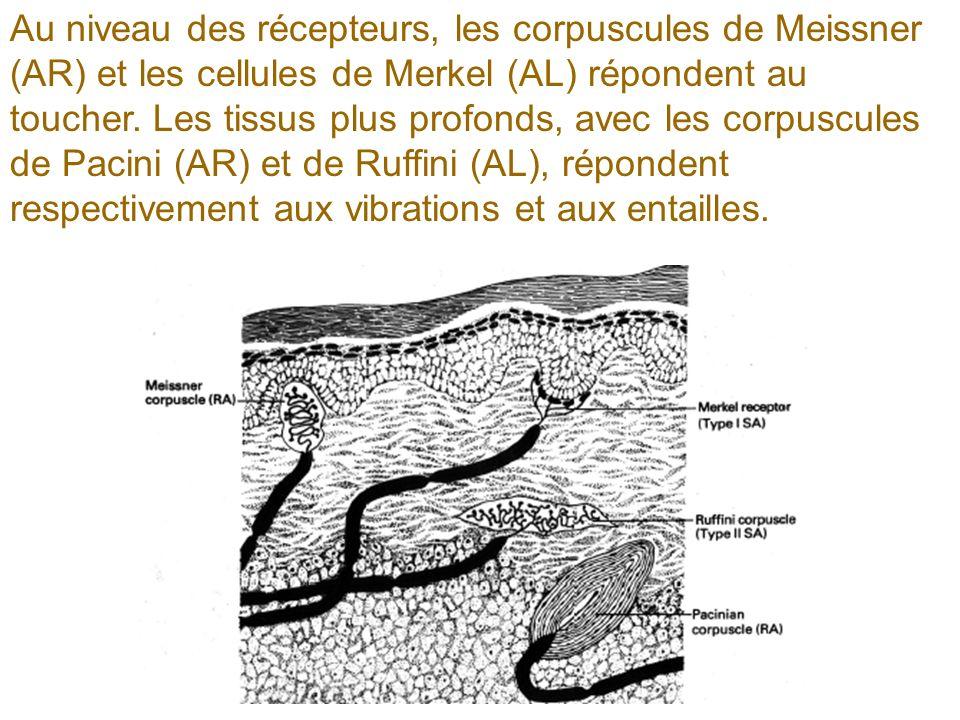 Au niveau des récepteurs, les corpuscules de Meissner (AR) et les cellules de Merkel (AL) répondent au toucher. Les tissus plus profonds, avec les cor