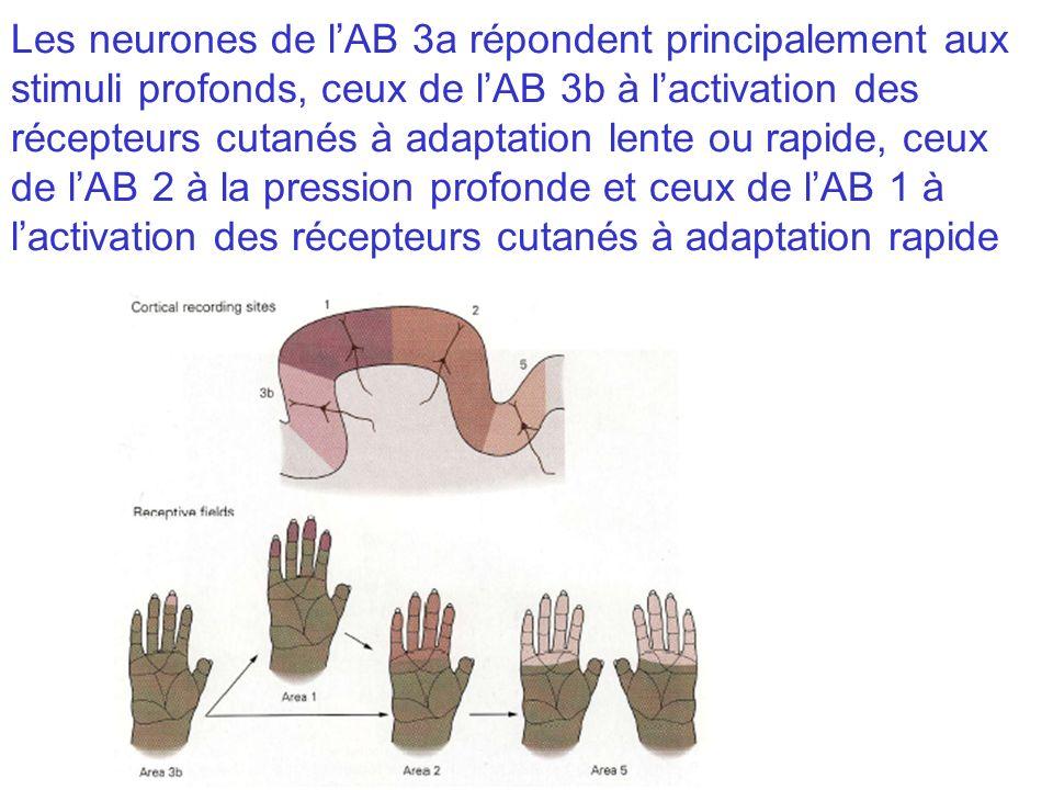 Les neurones de lAB 3a répondent principalement aux stimuli profonds, ceux de lAB 3b à lactivation des récepteurs cutanés à adaptation lente ou rapide