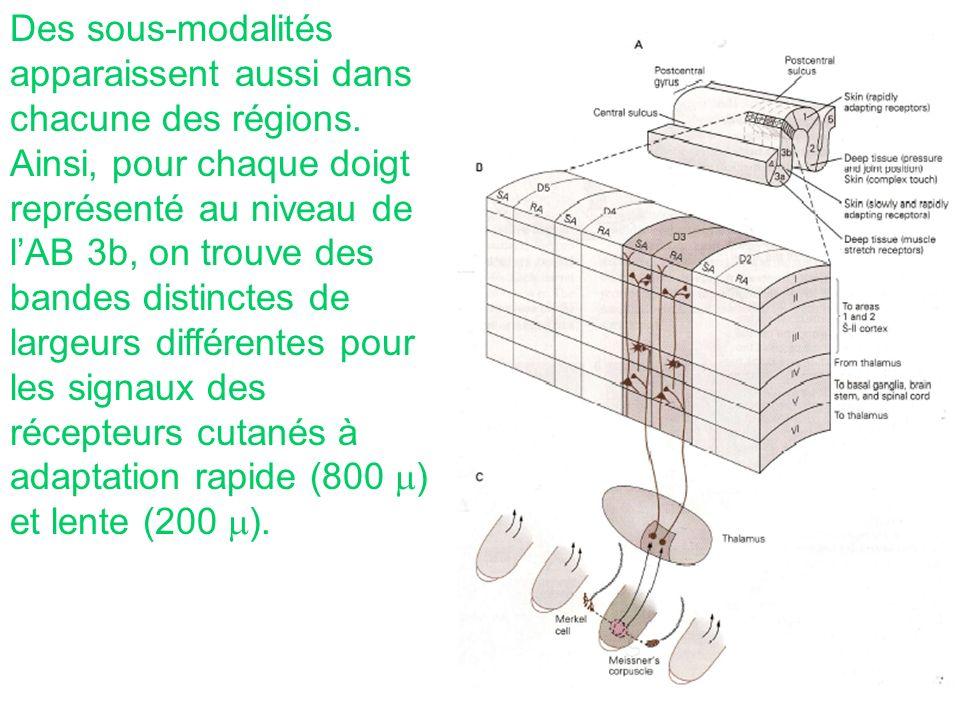 Des sous-modalités apparaissent aussi dans chacune des régions. Ainsi, pour chaque doigt représenté au niveau de lAB 3b, on trouve des bandes distinct