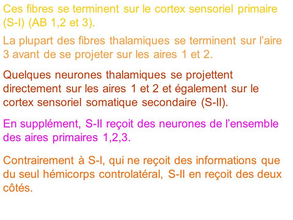 Ces fibres se terminent sur le cortex sensoriel primaire (S-I) (AB 1,2 et 3). La plupart des fibres thalamiques se terminent sur laire 3 avant de se p