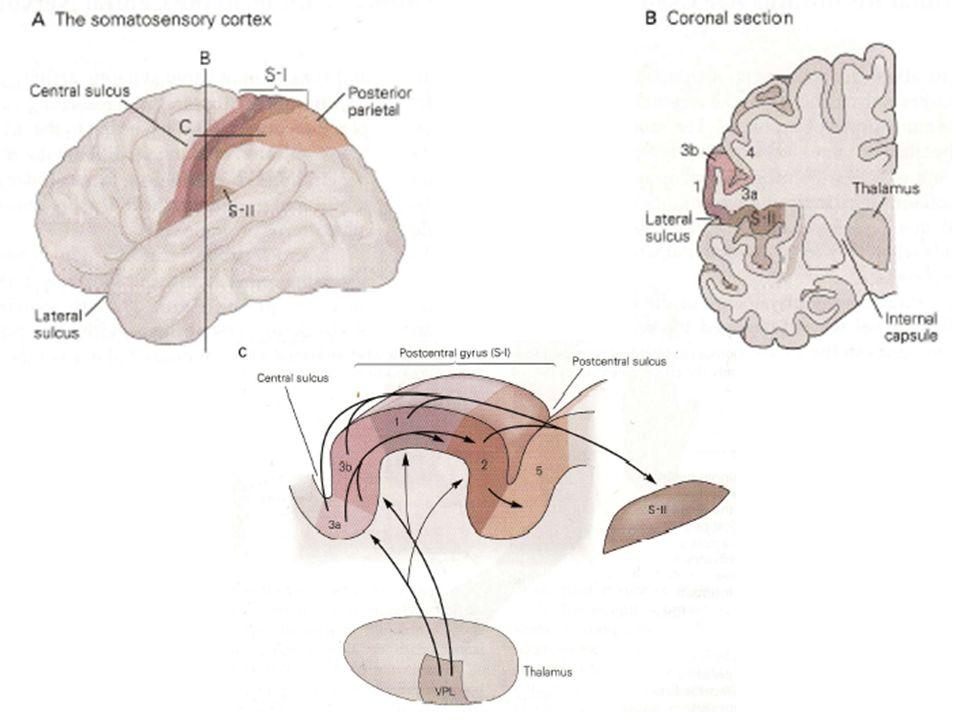 IVLES MODALITES SENSORIELLES SONT CODEES SOUS FORME DE COLONNES DANS LE CORTEX Grâce à des micro-électrodes et des mesures au niveau des noyaux des colonnes dorsales, du thalamus et dans le cortex, il a été montré que ces neurones nétaient sensibles quà une seule sous-modalité : un toucher superficiel ou une pression profonde.