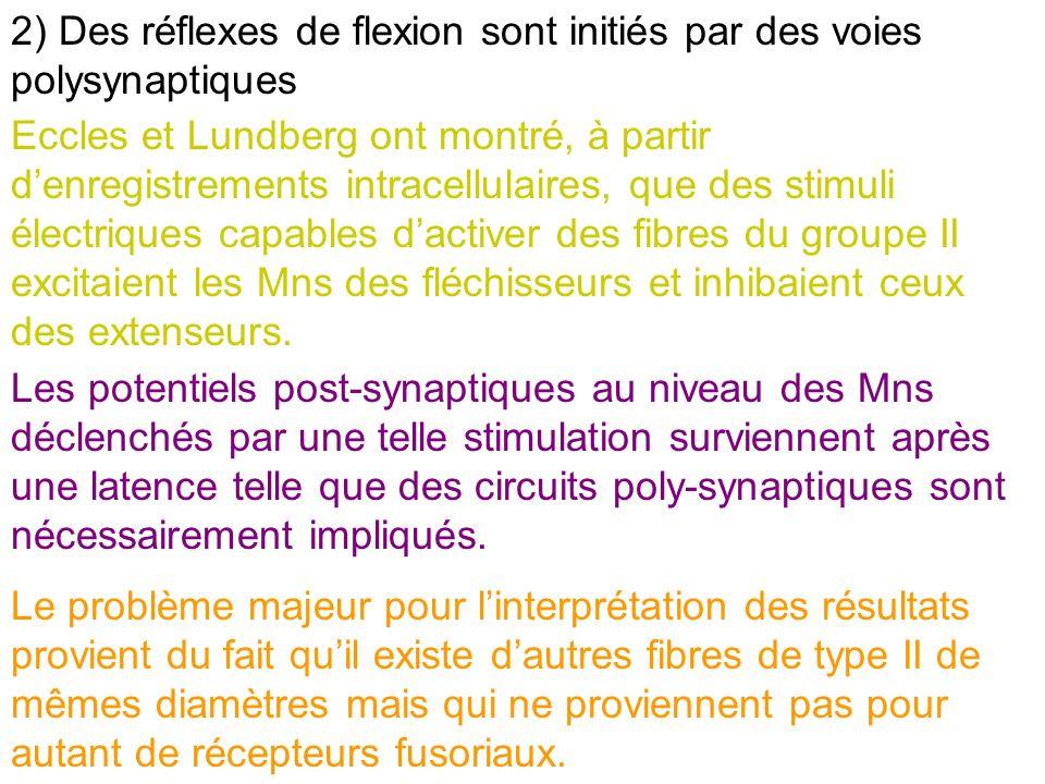 2) Des réflexes de flexion sont initiés par des voies polysynaptiques Eccles et Lundberg ont montré, à partir denregistrements intracellulaires, que d