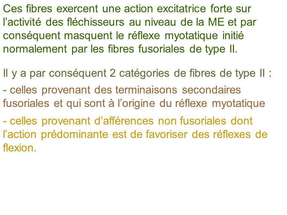 Ces fibres exercent une action excitatrice forte sur lactivité des fléchisseurs au niveau de la ME et par conséquent masquent le réflexe myotatique in