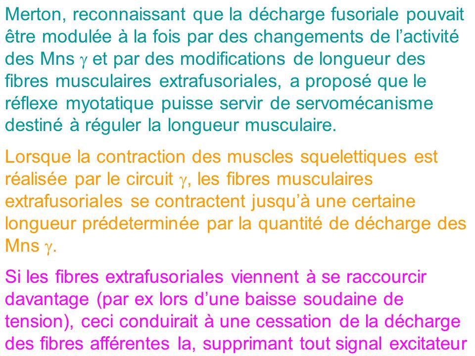 Merton, reconnaissant que la décharge fusoriale pouvait être modulée à la fois par des changements de lactivité des Mns et par des modifications de lo