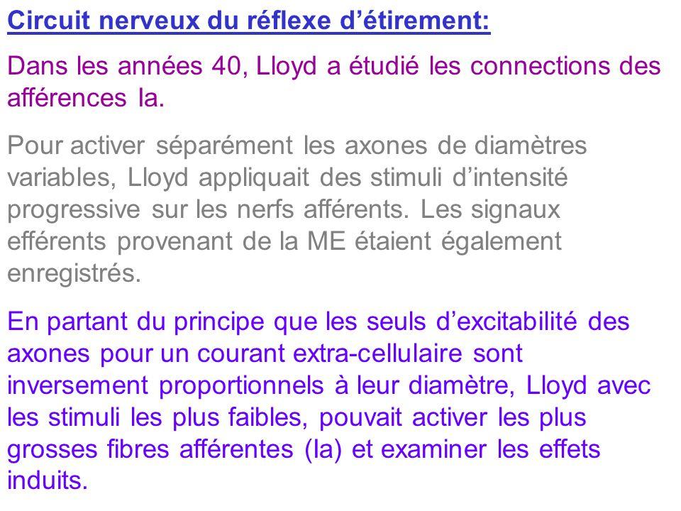 Circuit nerveux du réflexe détirement: Dans les années 40, Lloyd a étudié les connections des afférences Ia. Pour activer séparément les axones de dia