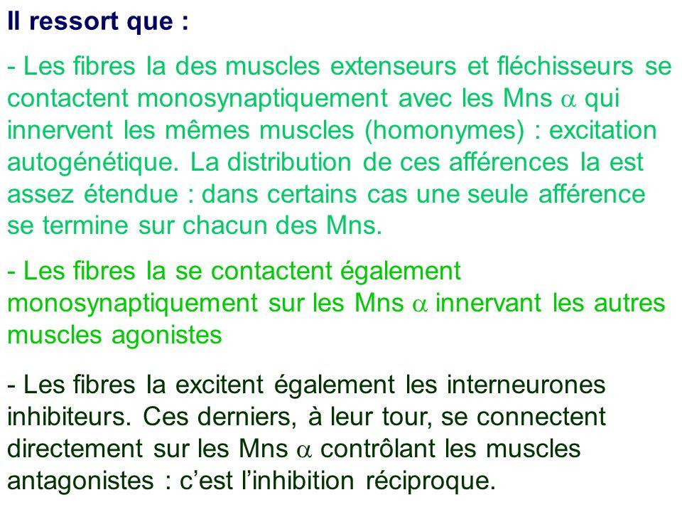 - Les fibres Ia des muscles extenseurs et fléchisseurs se contactent monosynaptiquement avec les Mns qui innervent les mêmes muscles (homonymes) : exc