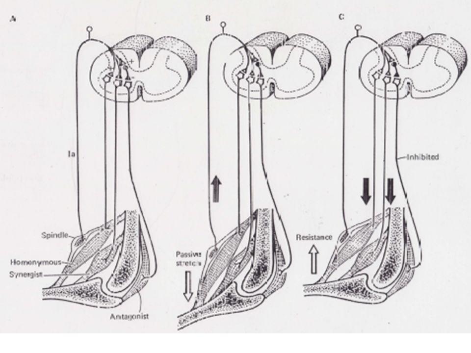 IILES FIBRES AFFERENTES DE TYPE Ib PARTICIPENT AU REFLEXE DETIREMENT INVERSE En accroissant légèrement la stimulation électrique des afférences de façon à se trouver au dessus du seuil déclenchant la réponse myotatique (Ia), Laporte et Lloyd ont pu observé que la réponse réflexe qui survenait présentait des caractéristiques inverses du réflexe myotatique.