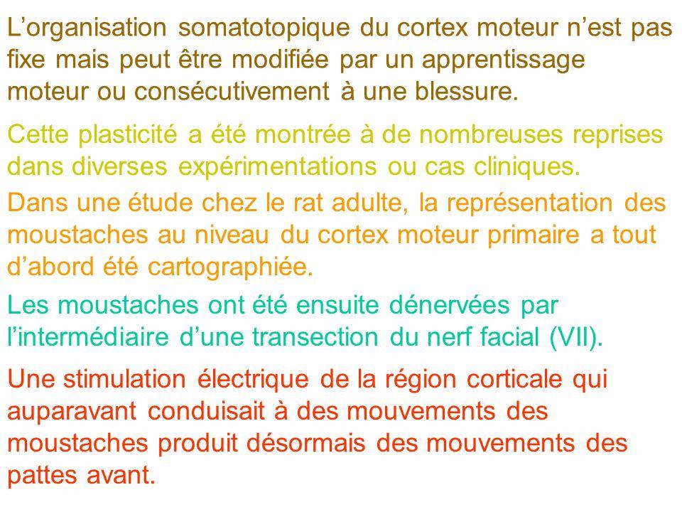 Lorganisation somatotopique du cortex moteur nest pas fixe mais peut être modifiée par un apprentissage moteur ou consécutivement à une blessure. Cett