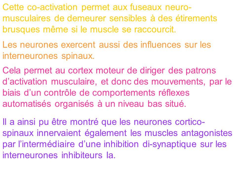 Les neurones exercent aussi des influences sur les interneurones spinaux. Cela permet au cortex moteur de diriger des patrons dactivation musculaire,
