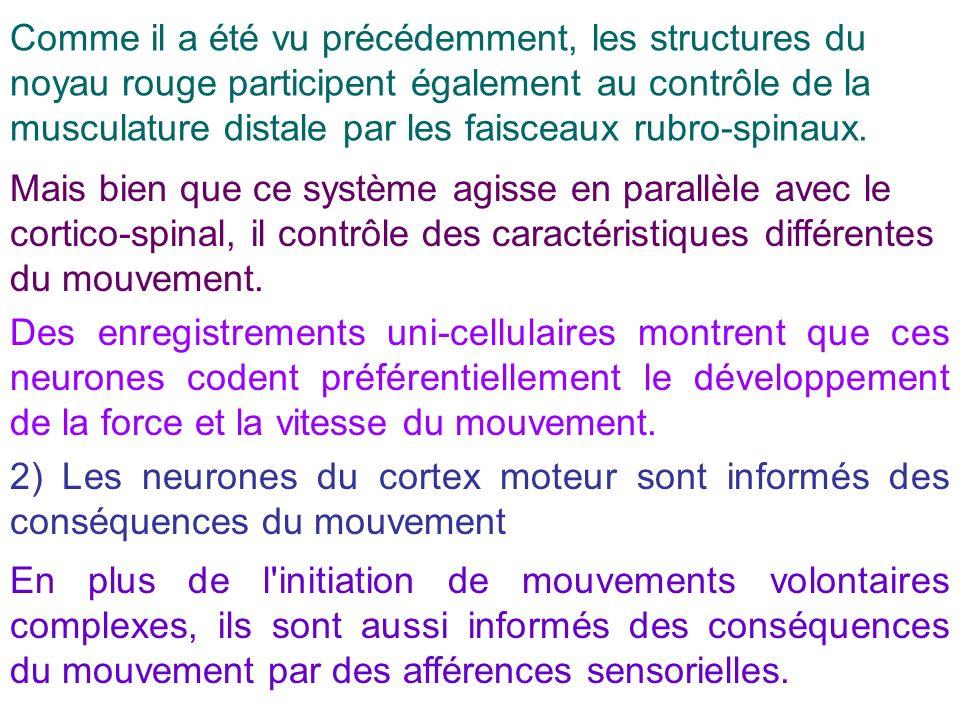 Comme il a été vu précédemment, les structures du noyau rouge participent également au contrôle de la musculature distale par les faisceaux rubro-spin
