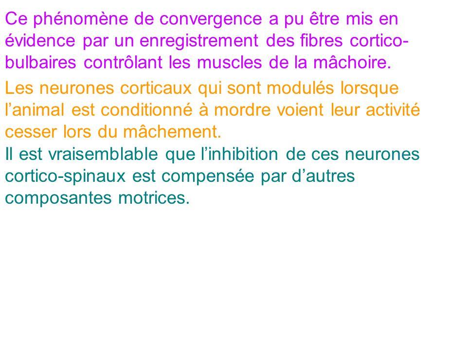 Ce phénomène de convergence a pu être mis en évidence par un enregistrement des fibres cortico- bulbaires contrôlant les muscles de la mâchoire. Les n
