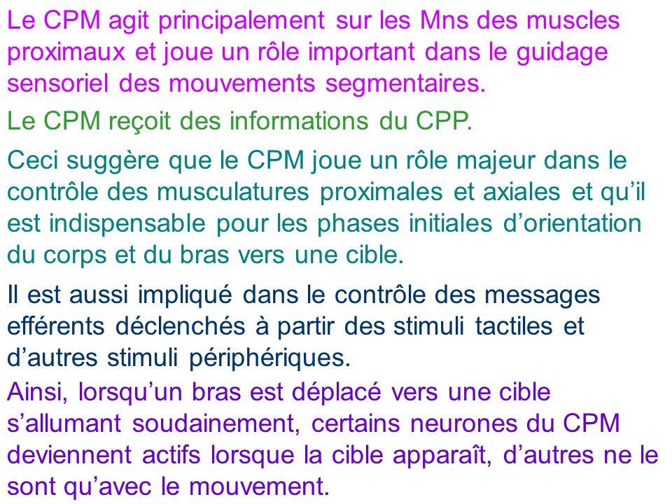 Le CPM agit principalement sur les Mns des muscles proximaux et joue un rôle important dans le guidage sensoriel des mouvements segmentaires. Le CPM r