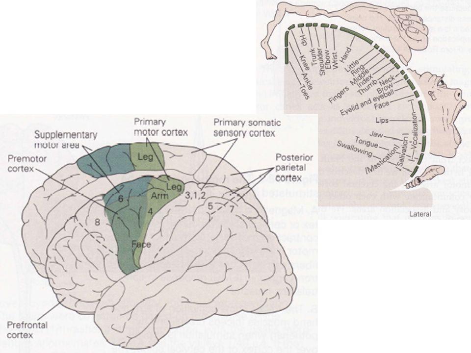 Ces symptômes sont similaires aux apraxies qui, chez lhomme, apparaissent lors de lésions du cortex dassociation frontal ou du CPP.
