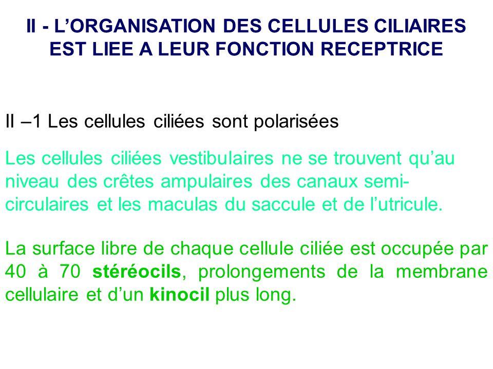 II –1 Les cellules ciliées sont polarisées Les cellules ciliées vestibulaires ne se trouvent quau niveau des crêtes ampulaires des canaux semi- circul
