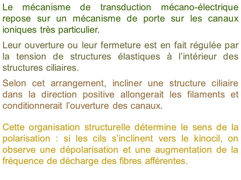 Le mécanisme de transduction mécano-électrique repose sur un mécanisme de porte sur les canaux ioniques très particulier. Leur ouverture ou leur ferme
