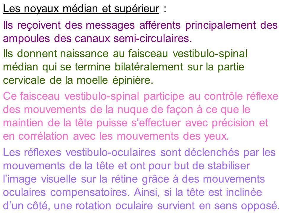 Les noyaux médian et supérieur : Ils reçoivent des messages afférents principalement des ampoules des canaux semi-circulaires. Ils donnent naissance a