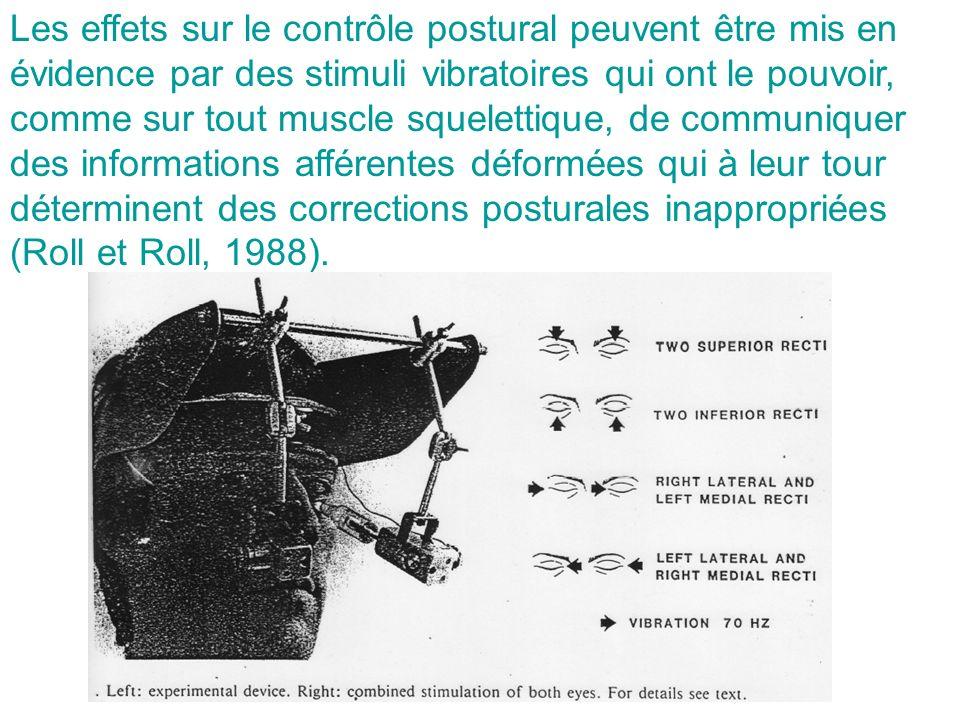Les effets sur le contrôle postural peuvent être mis en évidence par des stimuli vibratoires qui ont le pouvoir, comme sur tout muscle squelettique, d