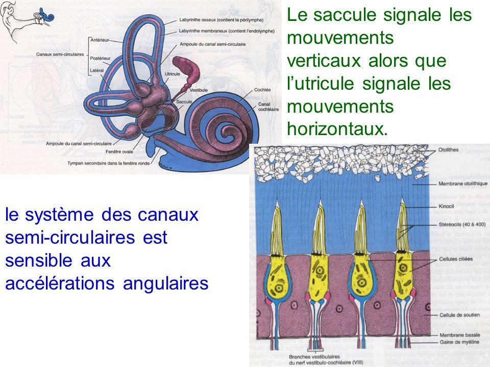 Le saccule signale les mouvements verticaux alors que lutricule signale les mouvements horizontaux. le système des canaux semi-circulaires est sensibl