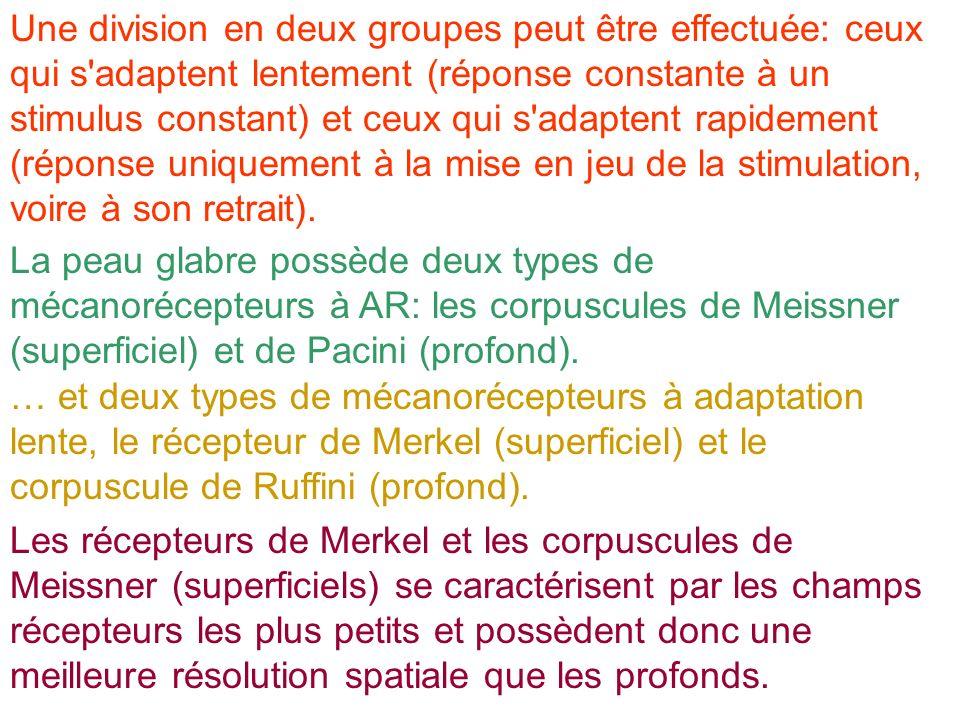 Une division en deux groupes peut être effectuée: ceux qui s'adaptent lentement (réponse constante à un stimulus constant) et ceux qui s'adaptent rapi