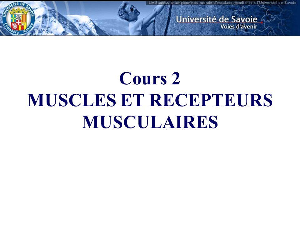 Le muscle squelettique est composé de cellules allongées, les fibres musculaires.