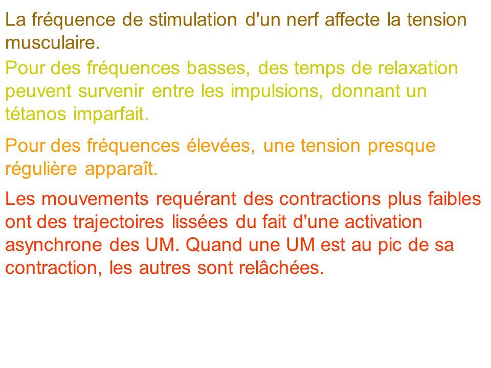 La fréquence de stimulation d'un nerf affecte la tension musculaire. Pour des fréquences basses, des temps de relaxation peuvent survenir entre les im