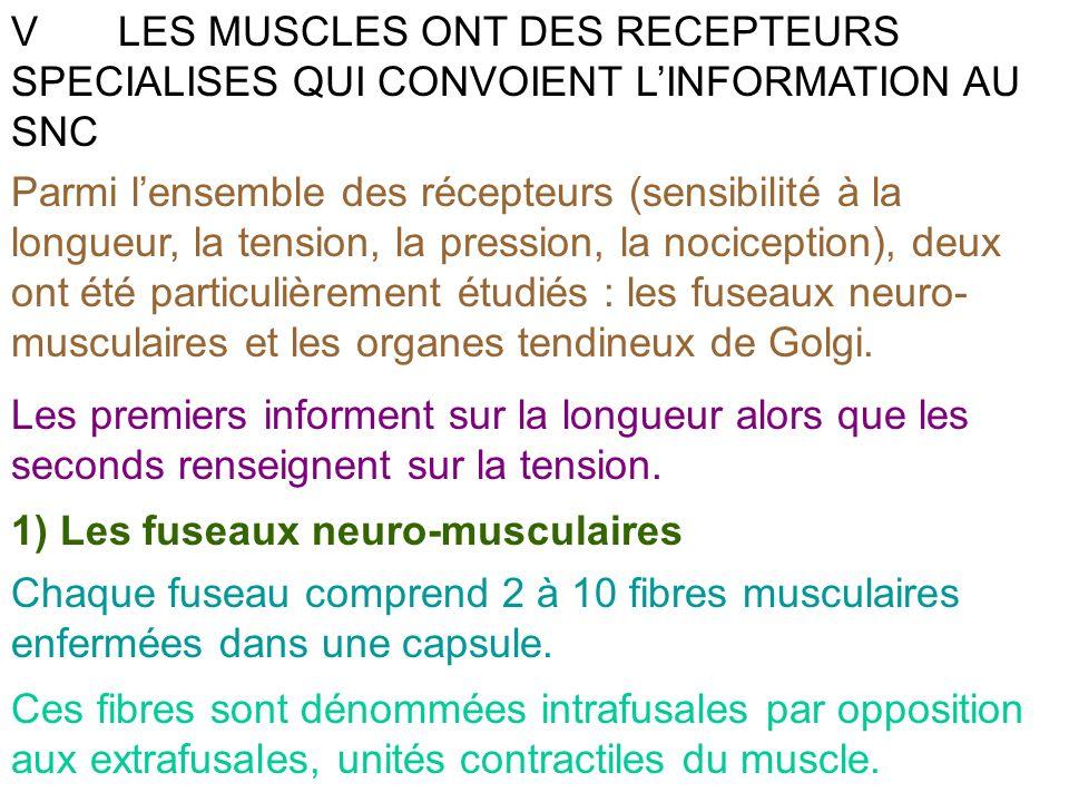 VLES MUSCLES ONT DES RECEPTEURS SPECIALISES QUI CONVOIENT LINFORMATION AU SNC Parmi lensemble des récepteurs (sensibilité à la longueur, la tension, l