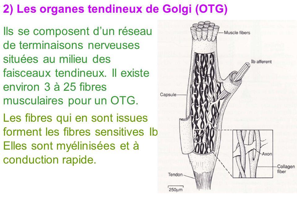 2) Les organes tendineux de Golgi (OTG) Ils se composent dun réseau de terminaisons nerveuses situées au milieu des faisceaux tendineux. Il existe env