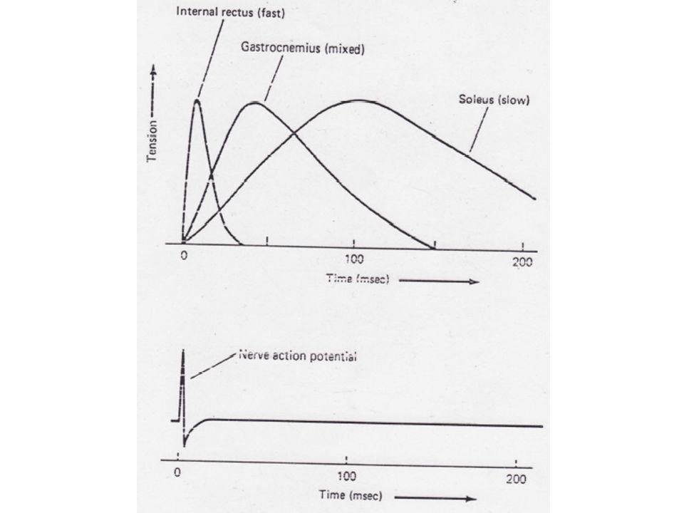 Les fibres lentes se contractent et se relaxent lentement et génèrent des niveaux de force peu élevés.