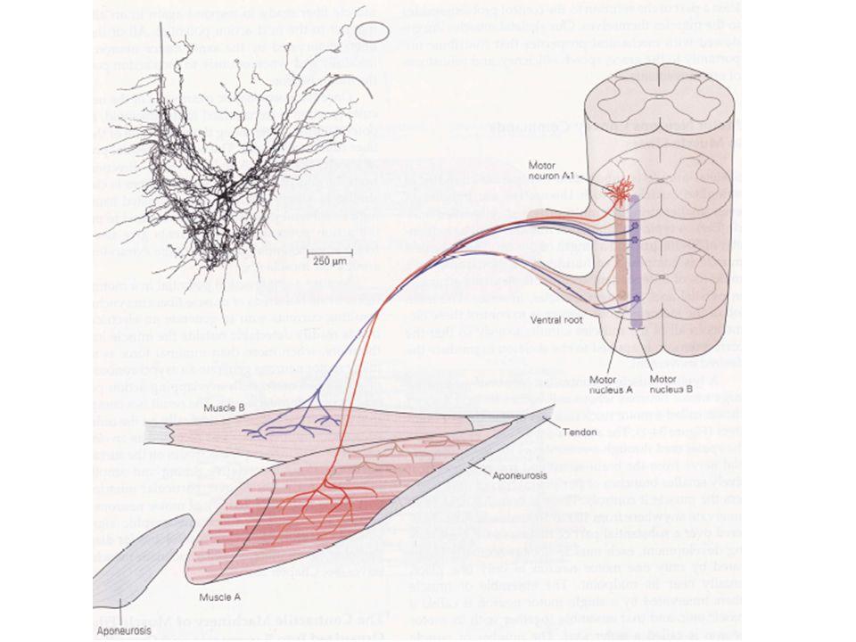 Lorsque la fréquence de stimulation varie, on observe des changements de tension musculaire de pic à pic.
