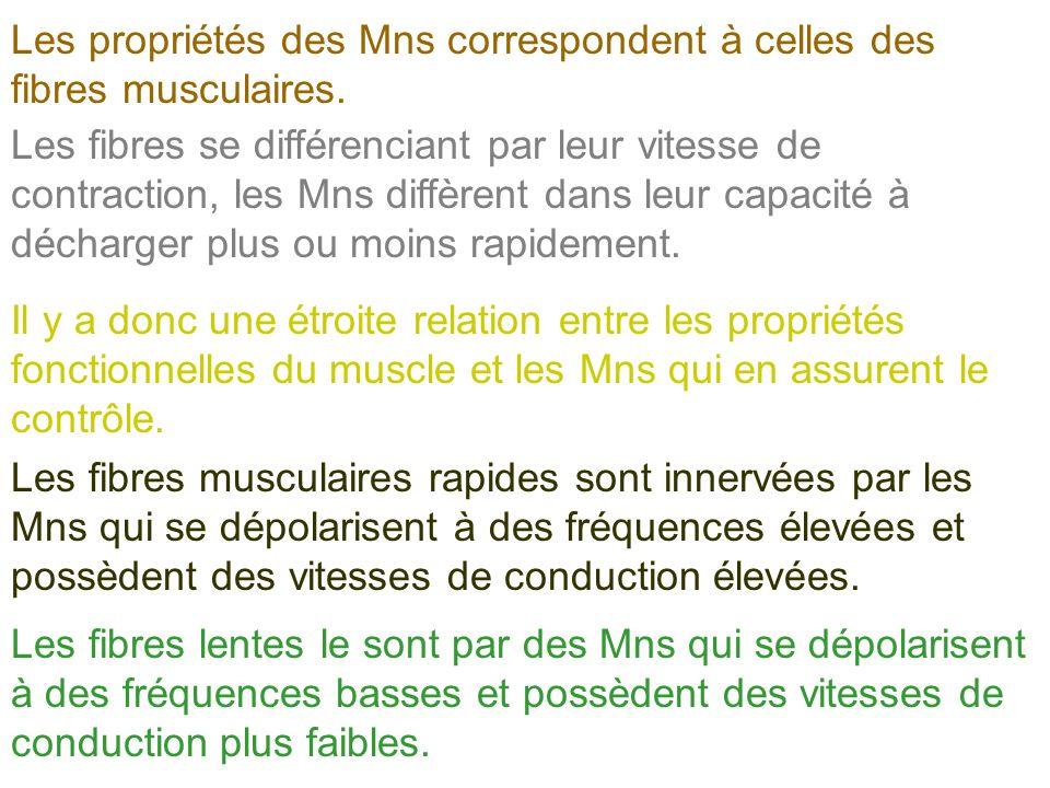 Les propriétés des Mns correspondent à celles des fibres musculaires. Il y a donc une étroite relation entre les propriétés fonctionnelles du muscle e