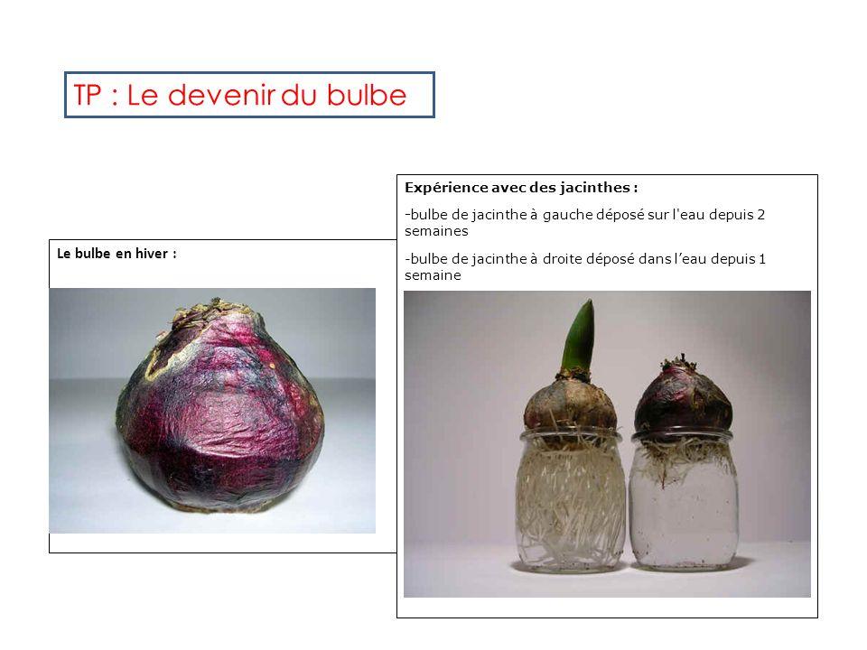 Le bulbe en hiver : Expérience avec des jacinthes : -bulbe de jacinthe à gauche déposé sur l eau depuis 2 semaines -bulbe de jacinthe à droite déposé dans leau depuis 1 semaine TP : Le devenir du bulbe