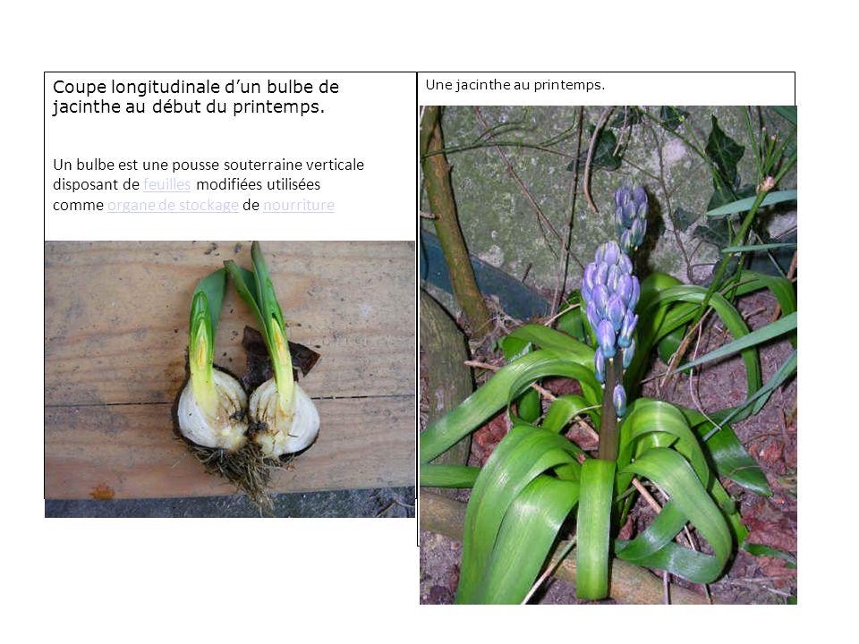 Coupe longitudinale dun bulbe de jacinthe au début du printemps. Un bulbe est une pousse souterraine verticale disposant de feuilles modifiées utilisé