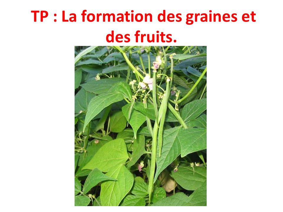 TP : La formation des graines et des fruits.