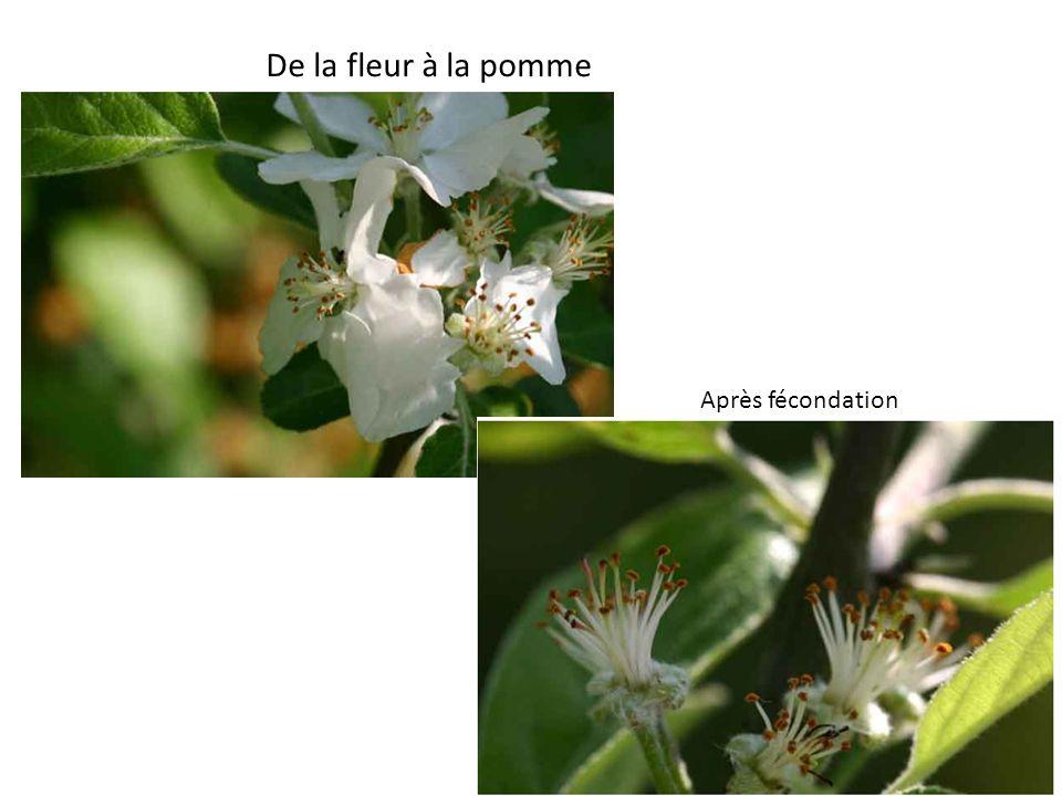 Après fécondation De la fleur à la pomme