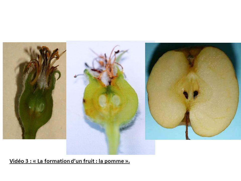 Vidéo 3 : « La formation dun fruit : la pomme ».