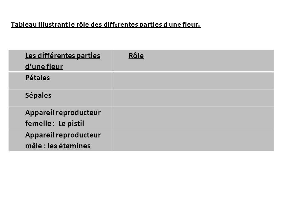 Les différentes parties dune fleur Rôle Pétales Sépales Appareil reproducteur femelle : Le pistil Appareil reproducteur mâle : les étamines Tableau il