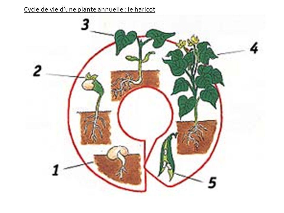 Cycle de vie dune plante annuelle : le haricot