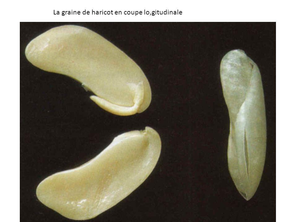 La graine de haricot en coupe lo,gitudinale