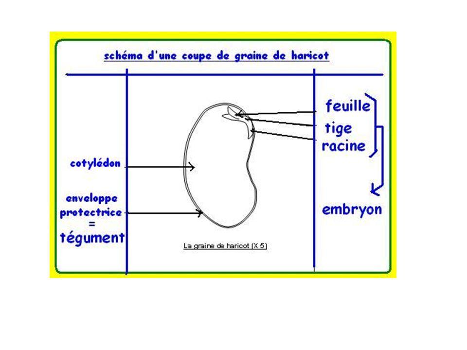 Formation du fruit